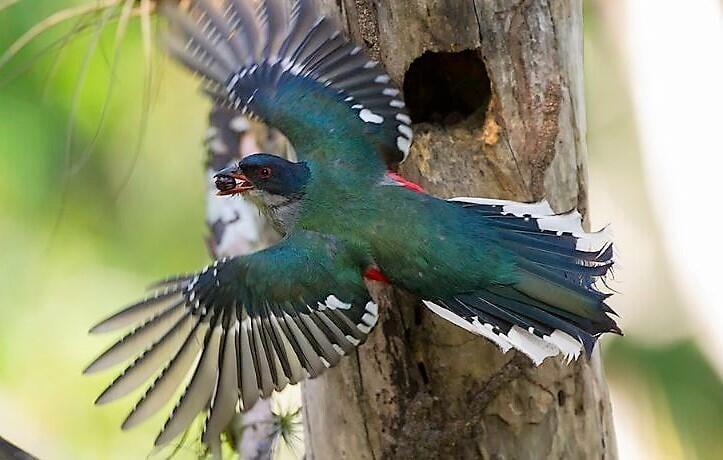 Tocororo ave nacional de Cuba