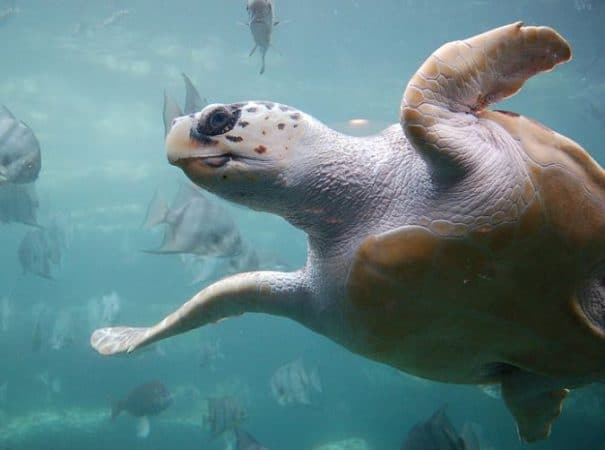 Caretta caretta nadando