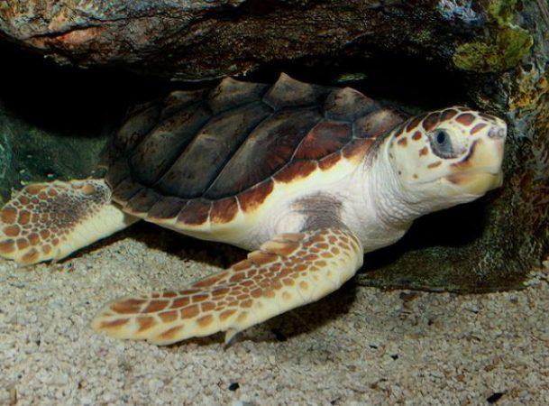 Tortuga Caguama en las profundidades