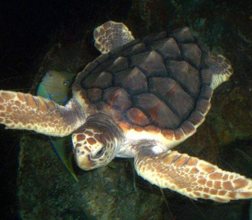 Tortuga Caguama en el agua