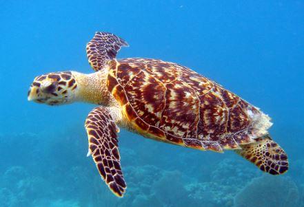 Eretmochelys imbricata nadando