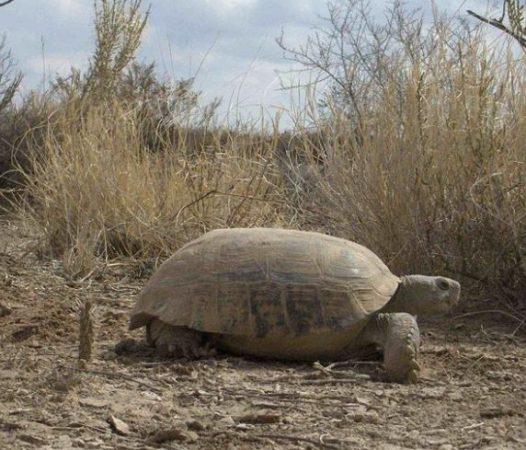 Primer plano de la tortuga del Bolsón