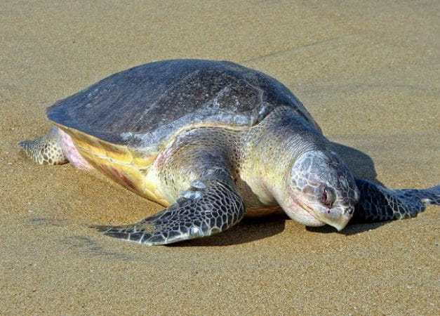 Primer plano de la Tortuga Golfina