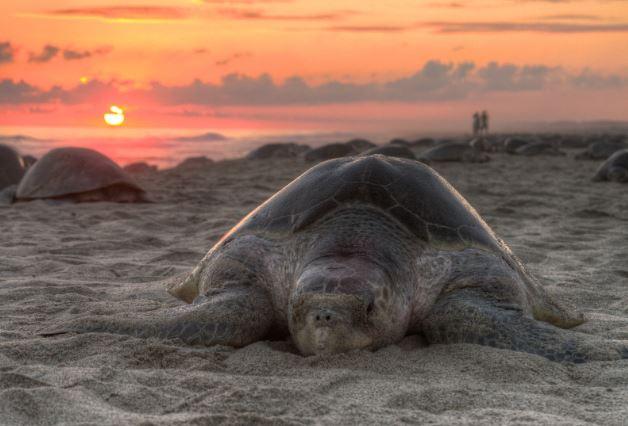Tortuga Golfina en la arena