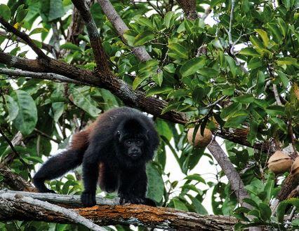 Uacarí en un árbol
