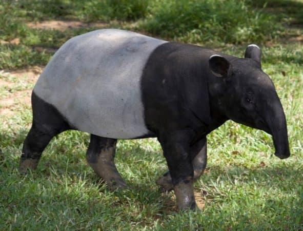 Tapir Malayo paseando