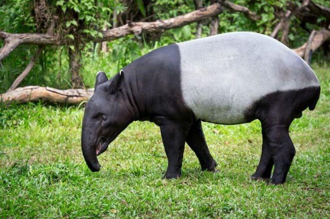 Tapirus indicus en el campo