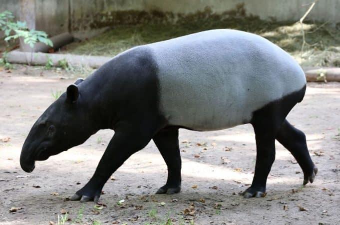 Tapirus indicus en la tierra