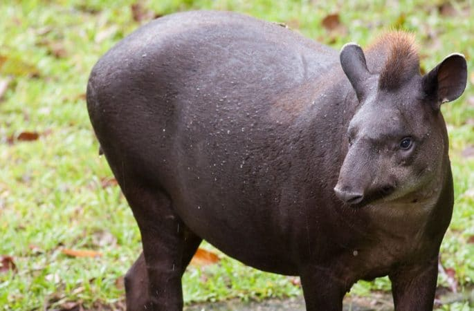 Tapir Amazónico en el campo